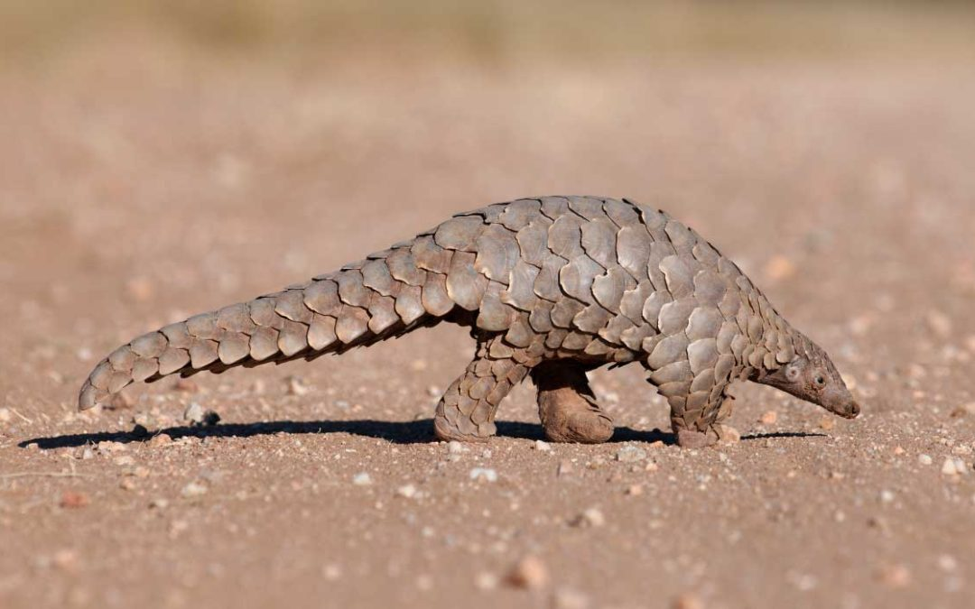 Time for China to save the Pangolin